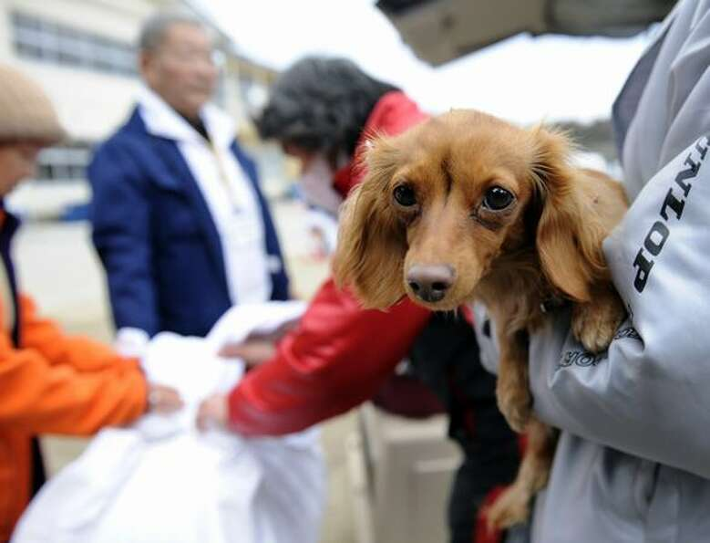 Miniature dachshund Cocoa is carried by her owner as veterinarian association officials visit a make