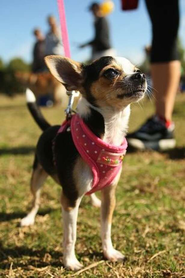 A dog rests at the half way stage of the RSPCA Million Paws Walk at Sydney Olympic Park in Sydney, Australia. The Million Paws Walk is an annual fundraising event for the animal welfare organization. Photo: Getty Images / Getty Images