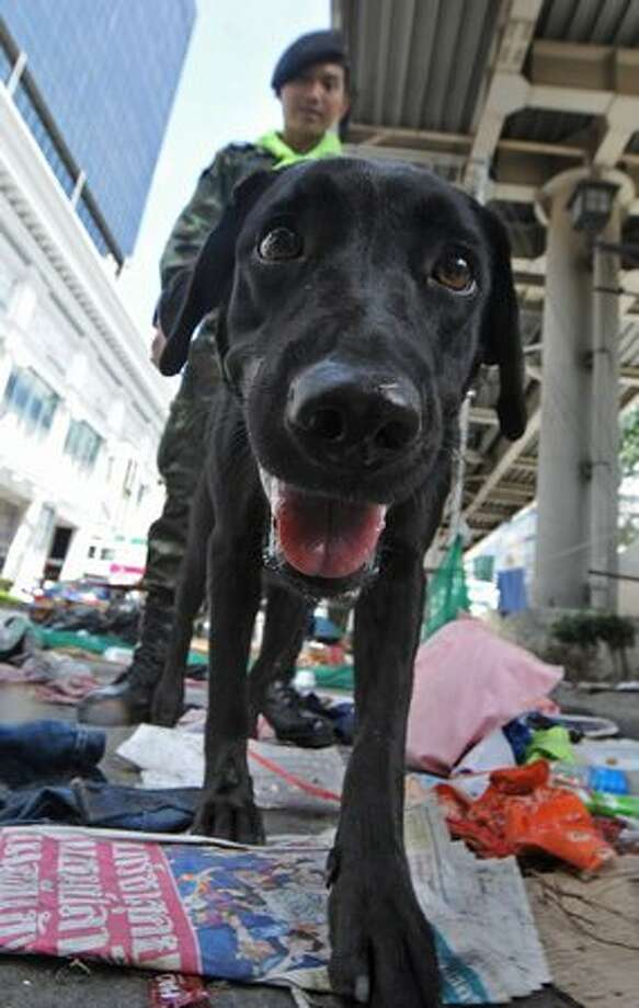 A sniffer dog checks security at anti-government main protest area in Bangkok. Thailand picked up the pieces after violence and mayhem triggered by a crackdown on anti-government protests, as the focus swung to recovery and reconciliation in a divided nation. Photo: Getty Images / Getty Images