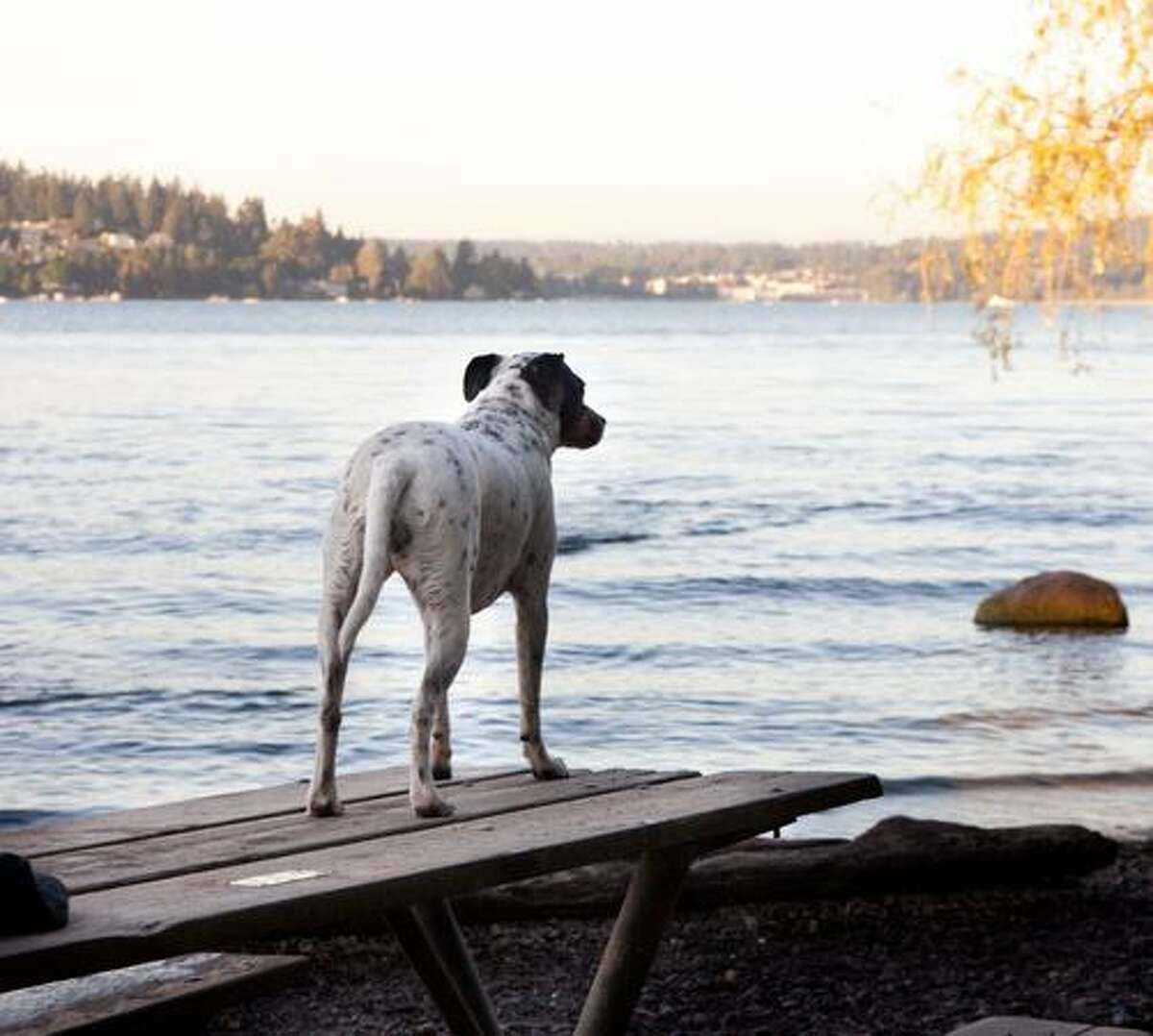Maggie, a Jack Russell/Dalmatian mix, takes in the view at Magnuson Park's off-leash area.