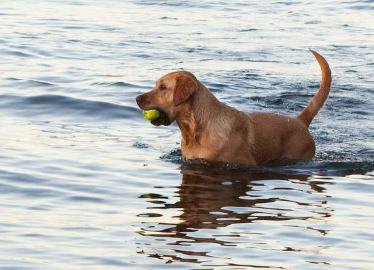 Sumo, a Lab, plays in the water on a summer day in Magnuson Park.