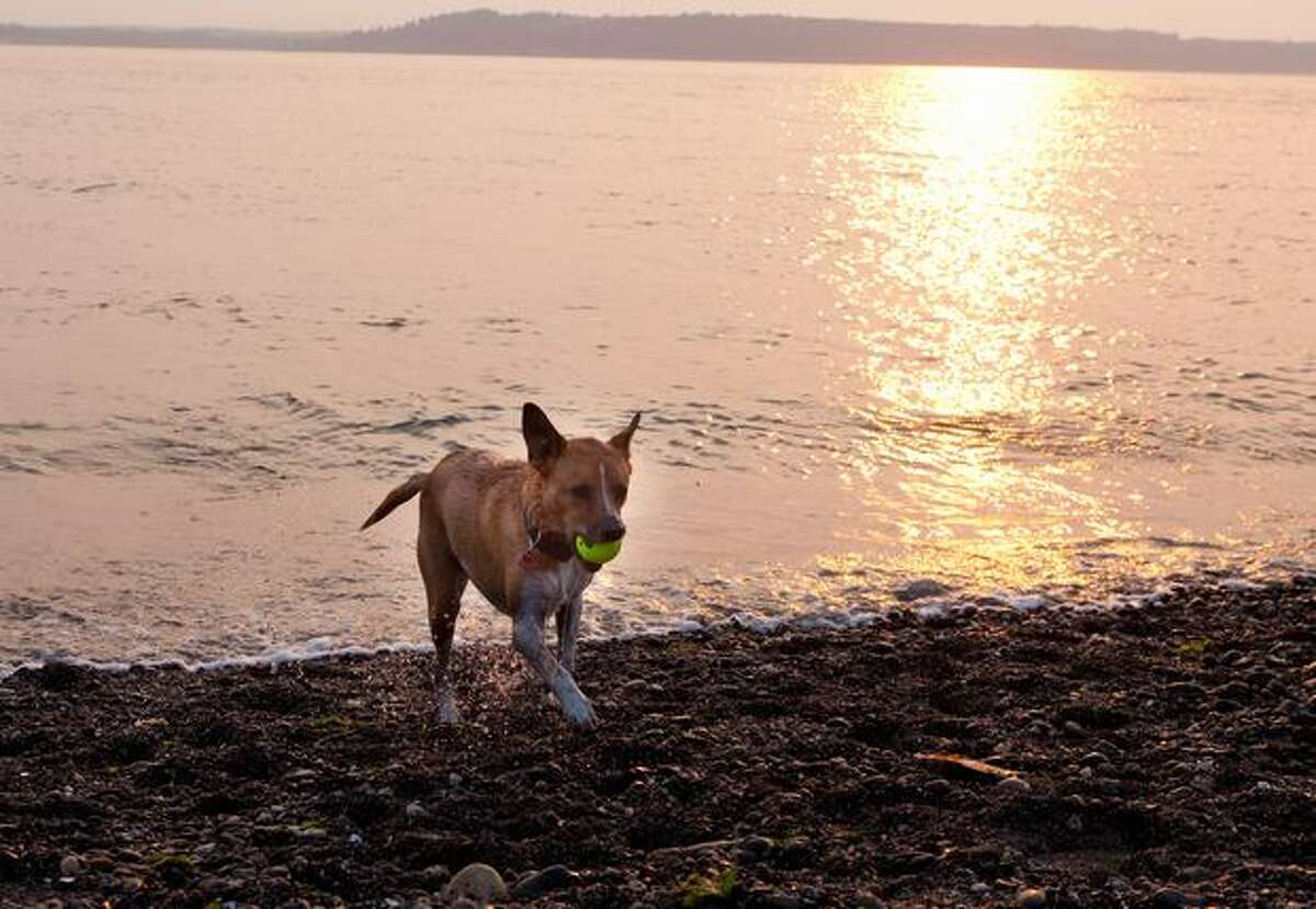 Maynard retrieves a ball out of Puget Sound at the Marina Park in Edmonds.
