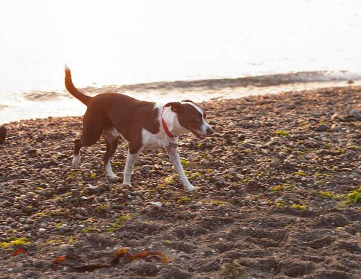Ozzie explores the beach in the off-leash area of the Edmonds Marina Park.