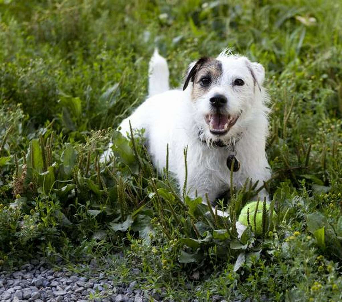 Mason the Jack Russell Terrier lays down in the grass after retrieving his ball.