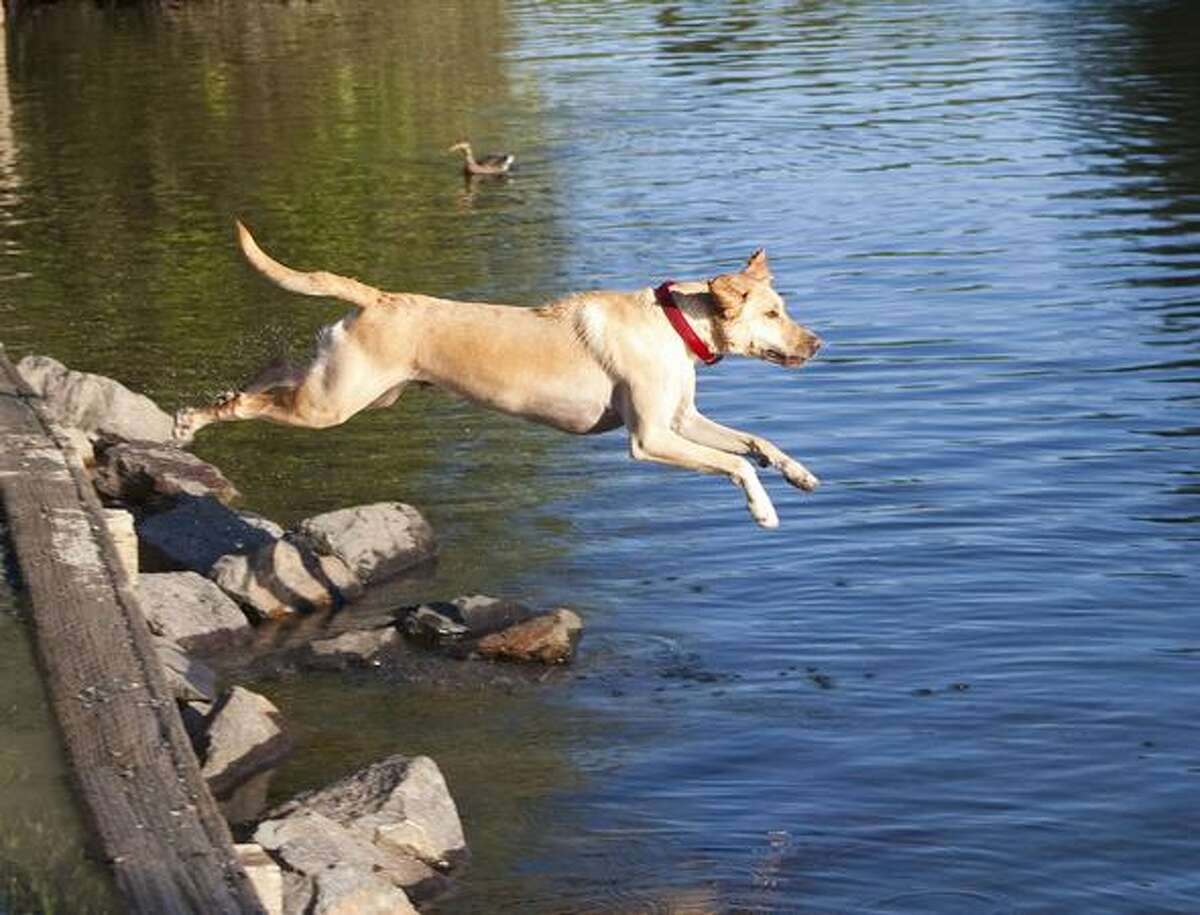 Coba, a Yellow Lab, leaps into the water after his ball.