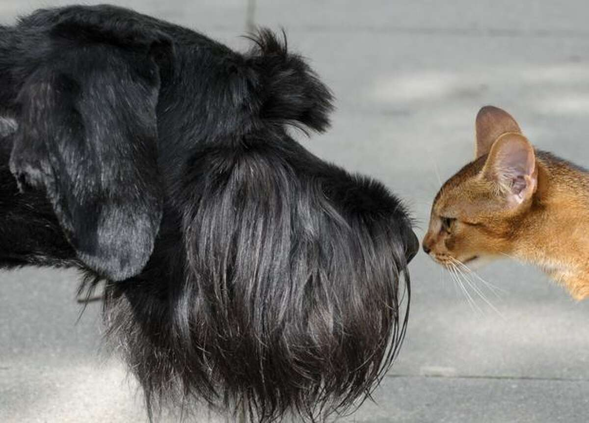 A Giant Schnauzer and a cat check each other out in the eastern German city of Leipzig on Aug. 18, 2010.