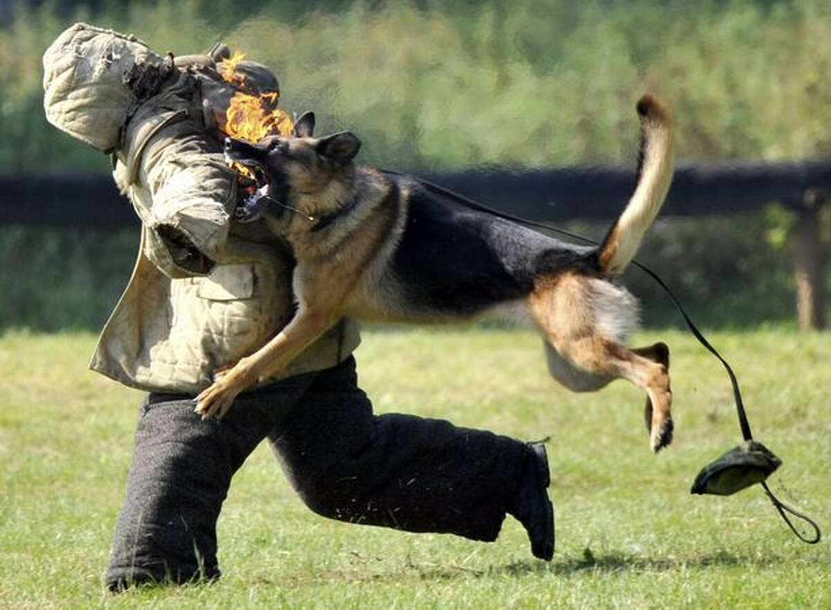 A Belarussian army dog attacks a soldier as part of a training exercise near Minsk in Volovshchina on Aug. 14, 2010 during a swearing-in ceremony for new recruits.