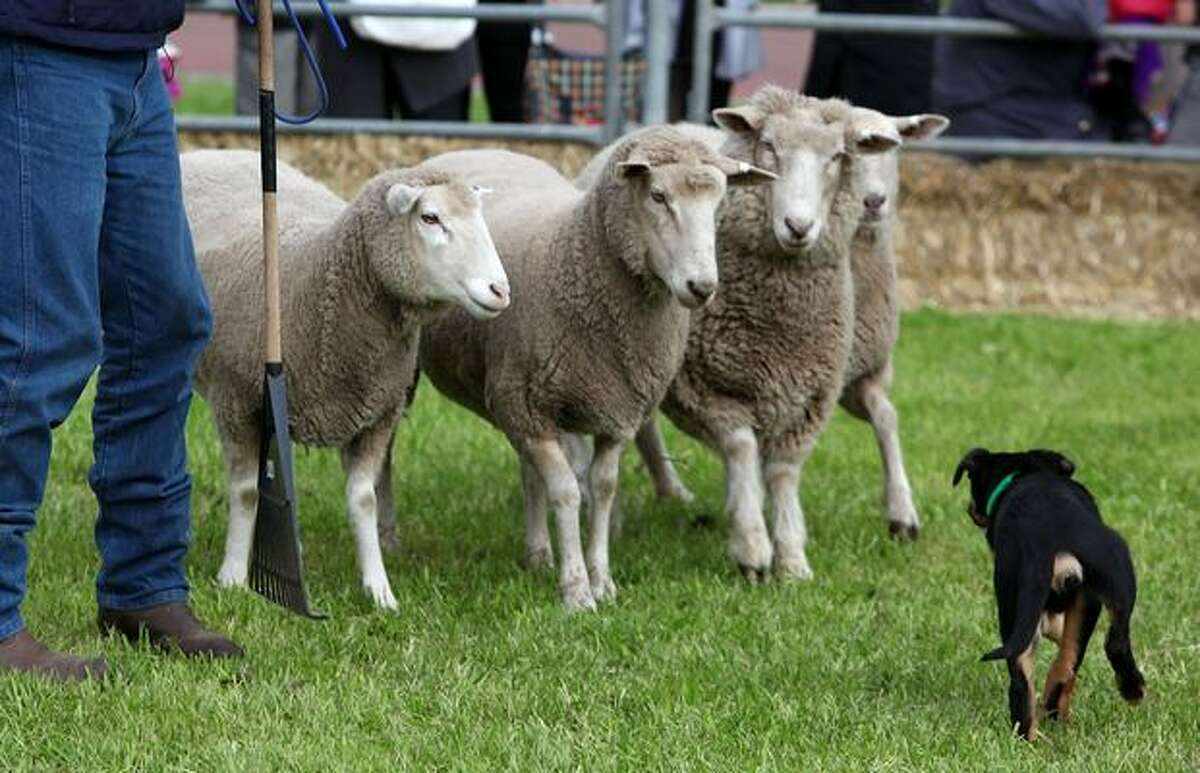 A sheep dog in training is seen at the Royal Melbourne Show on September 18, 2010 in Melbourne, Australia.