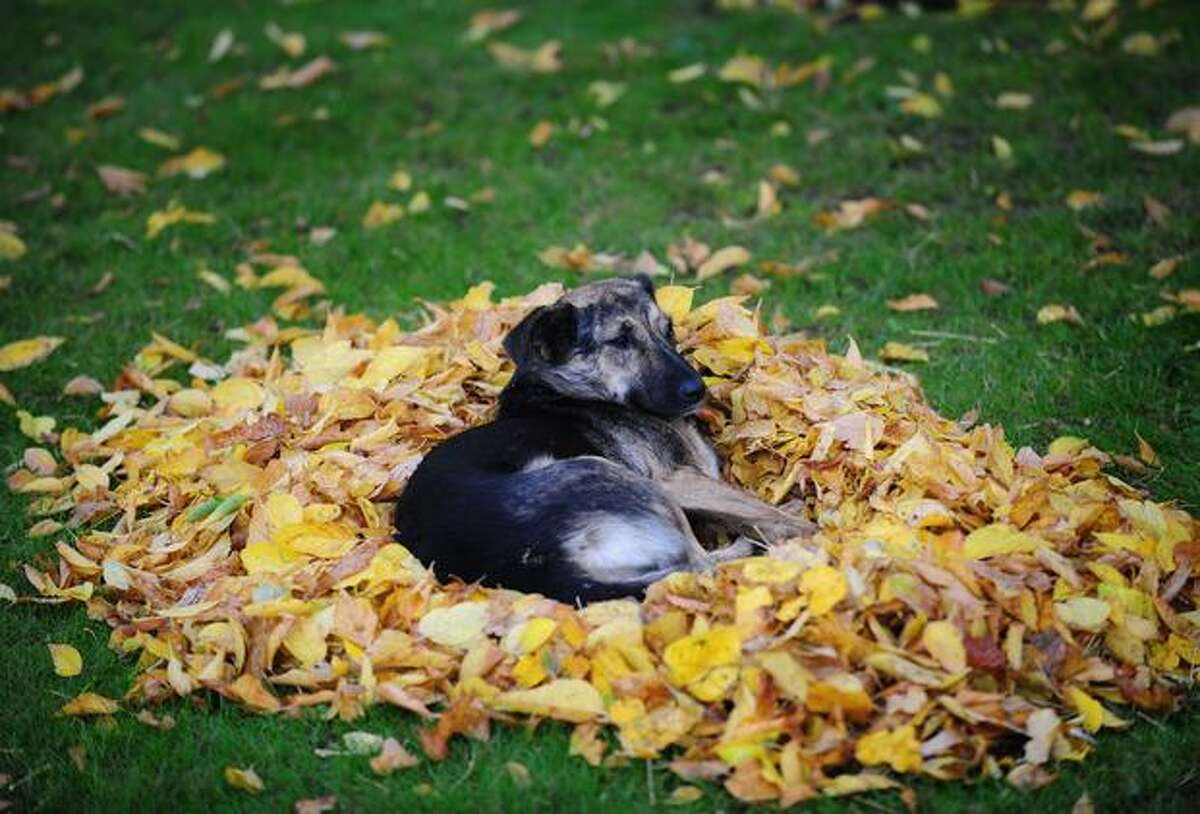 A stray dog rests on a pile of autumn leaves in a park in Bucharest, Romania, on October 18, 2010.