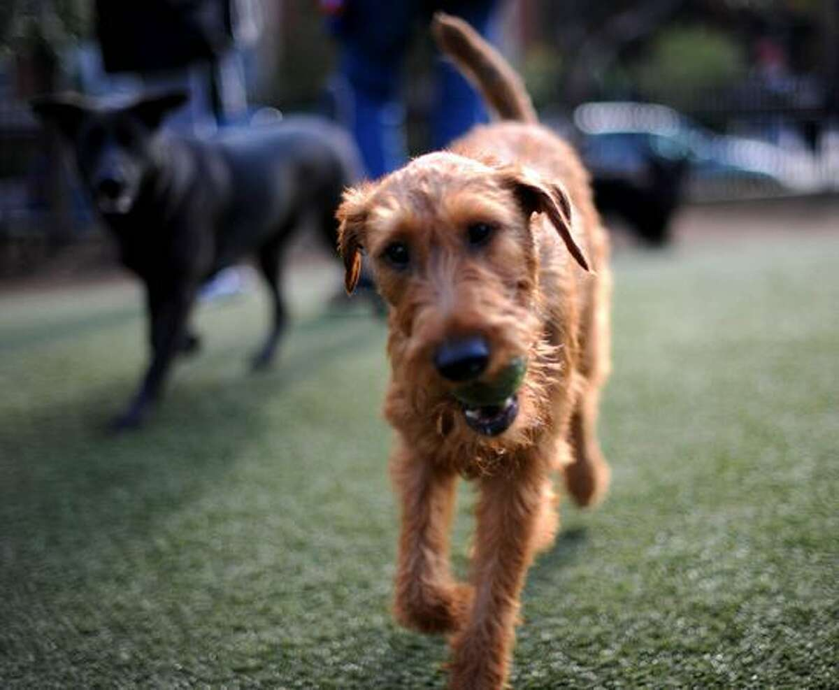 A dog runs with a tennis ball in its mouth at the S Street Dog Park in Washington, D.C., on October 21, 2010. The park has special artificial turf that allows urine to pass through and is easy to clean.