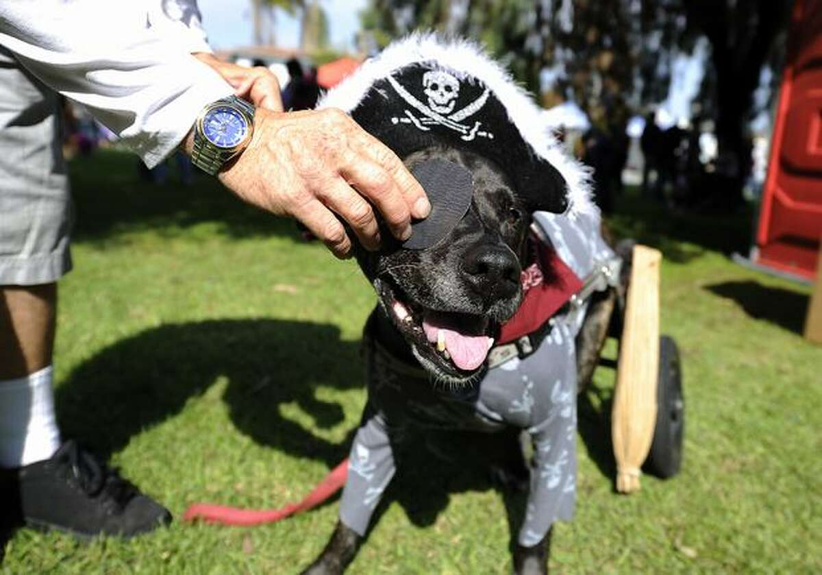 Leo, a parapalegic boxer-Labrador mix, has his eye patch adjusted before the start of the Halloween Dog Costume Parade in Long Beach, California on October 31, 2010.