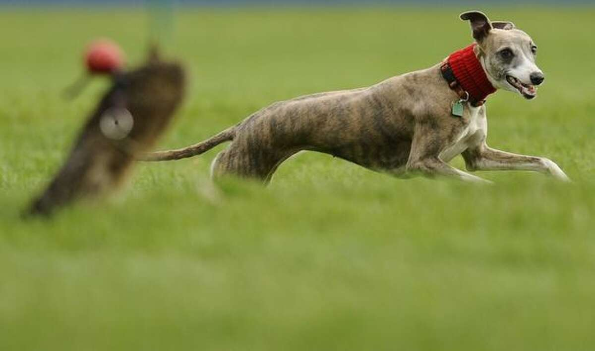 A whippet chases the lure at Cheltenham racecourse on November 12, 2010 in Cheltenham, England