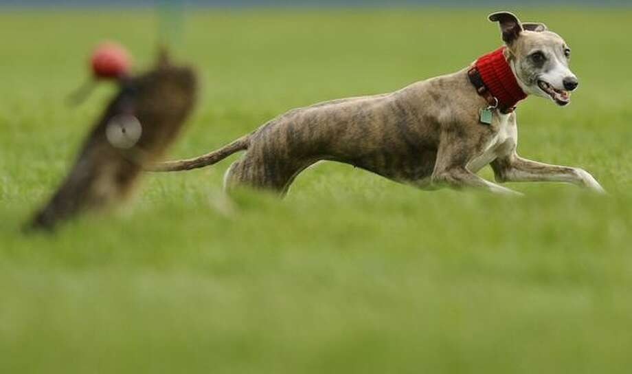 A whippet chases the lure at Cheltenham racecourse on November 12, 2010 in Cheltenham, England Photo: Getty Images / Getty Images