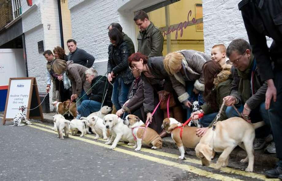 Puppies wait to audition for the new Andrex toilet roll commercial at Pineapple Studios on November 17, 2010 in London, England. Photo: Getty Images / Getty Images