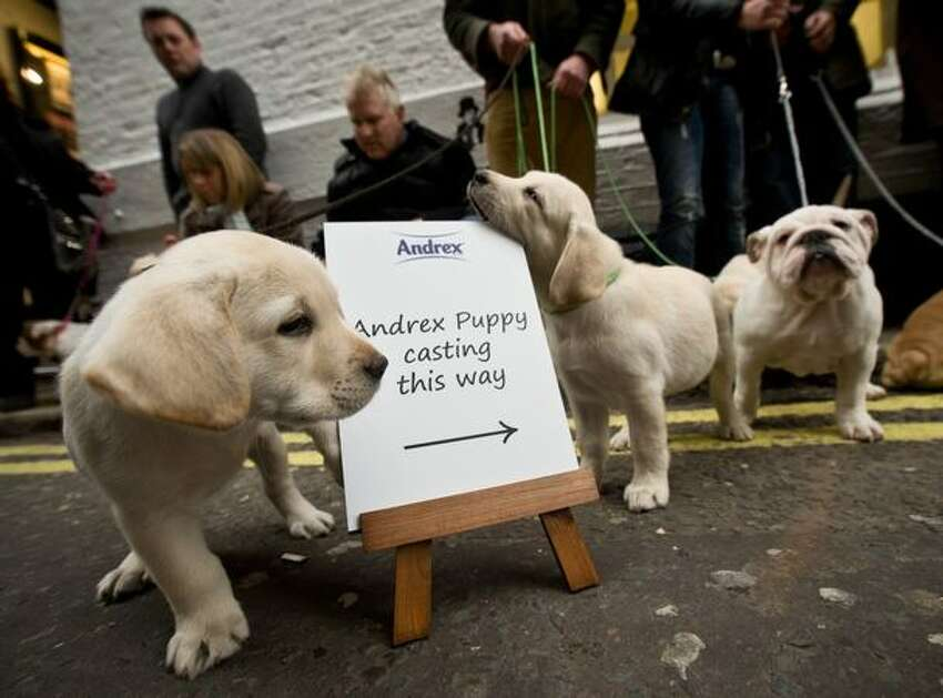 Puppies wait to audition for the new Andrex toilet roll commercial at Pineapple Studios on November 17, 2010 in London, England.