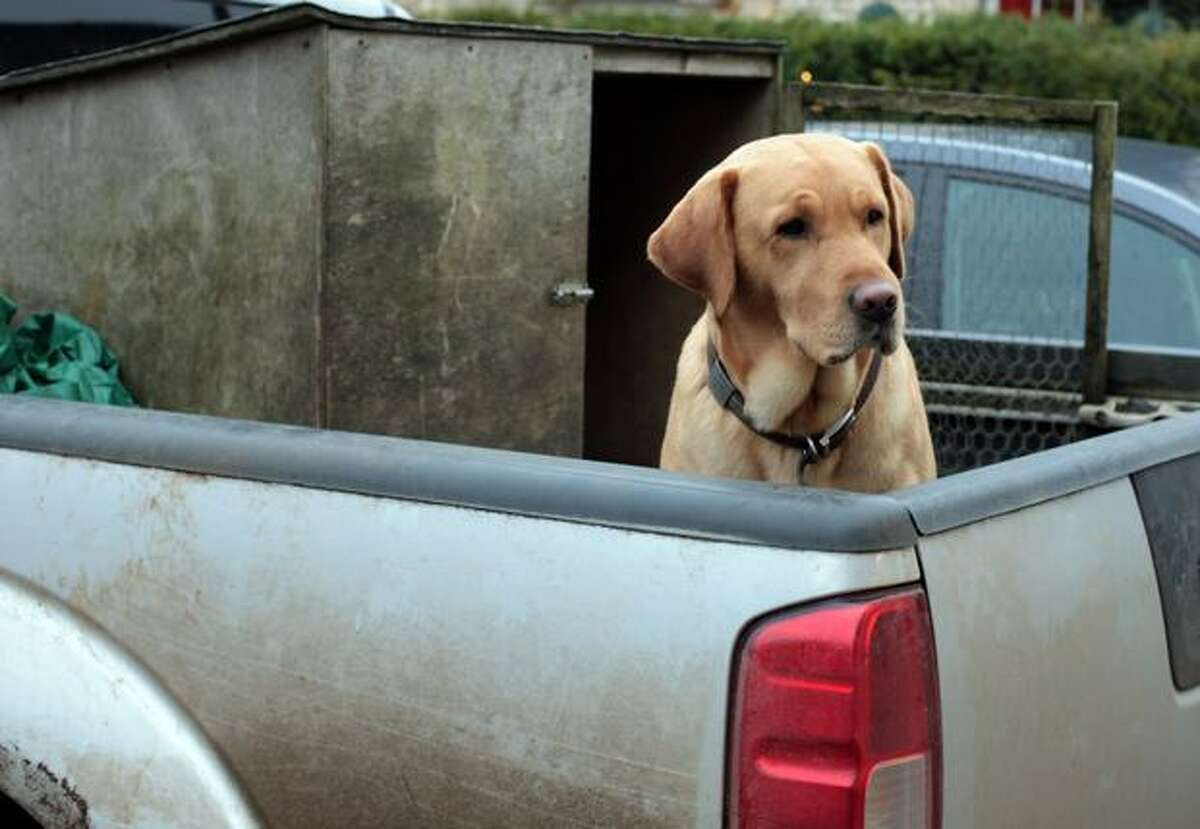 A dog waits for its owner in the back of a pick up truck outside a shop on November 20, 2010 in Tetbury, England.