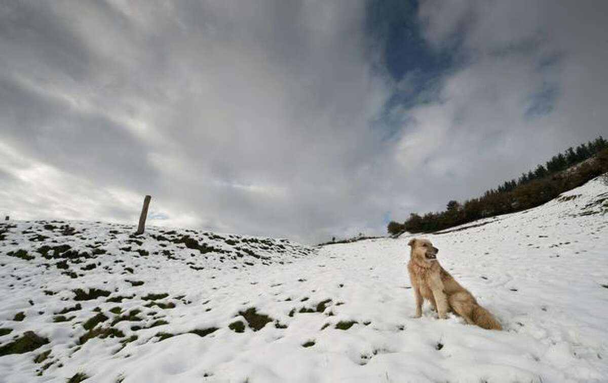 A Basque shepherd dog plays in the snow in the Northern Spanish Basque village of Oquendo on December 3, 2010.
