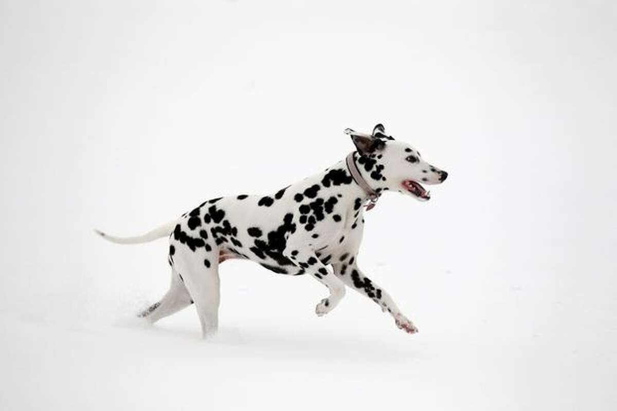 Dodie, a 1-year-old dalmatian, enjoys the snowy conditions in Brockwell Park on December 2, 2010 in London, England.