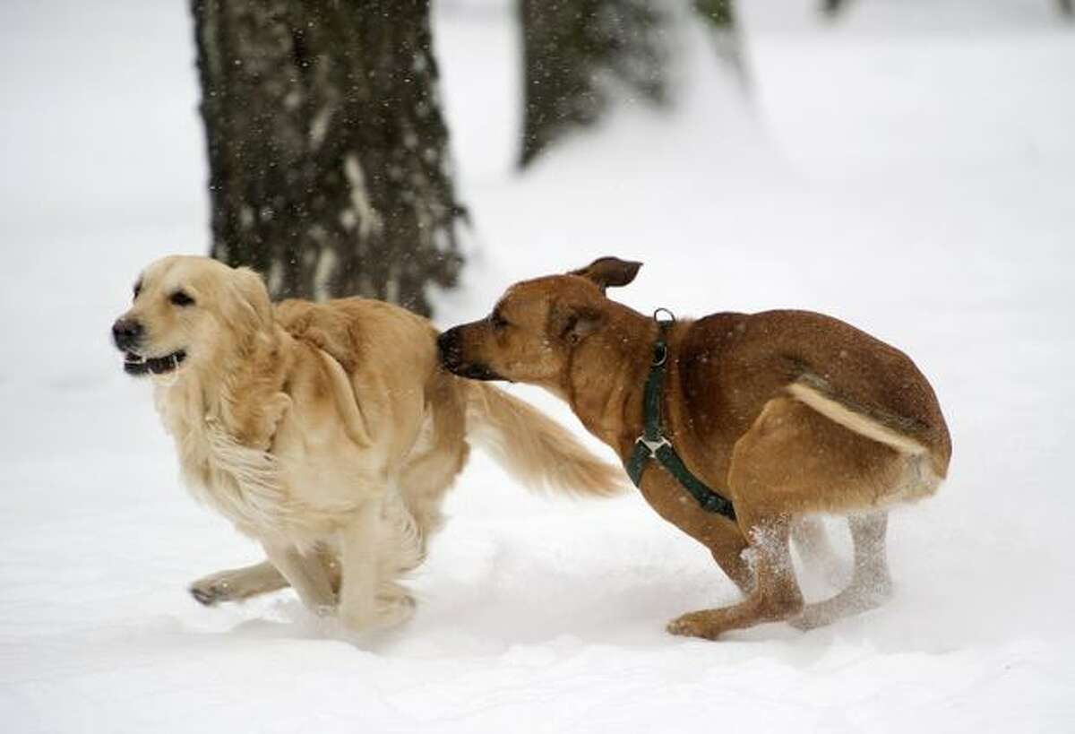 Two dogs play in the Schoeneberg park during heavy snowfall in Berlin on December 2, 2010.