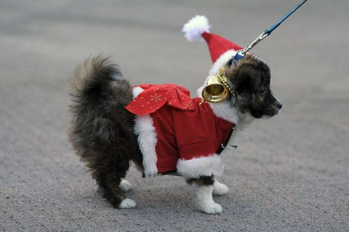 A dog named Pookie participates in a Christmas dog costume exhibition in San Salvador, El Salvador on December 4, 2010.