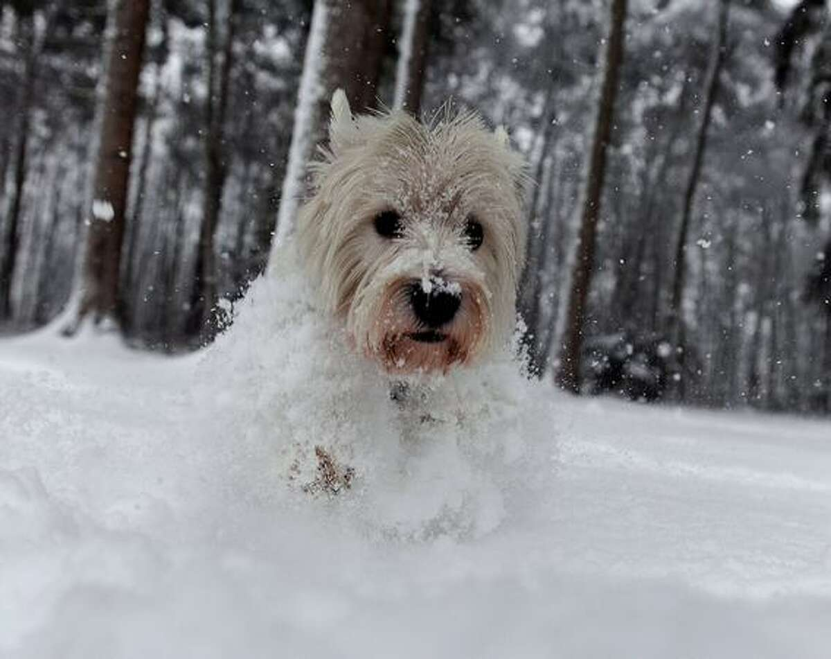 A West Highland White Terrier runs through the snow in a forest near Hilden, Germany on December 17, 2010.