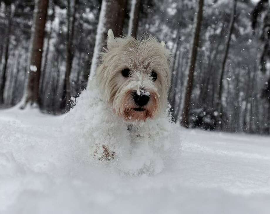 A West Highland White Terrier runs through the snow in a forest near Hilden, Germany on December 17, 2010. Photo: Getty Images / Getty Images