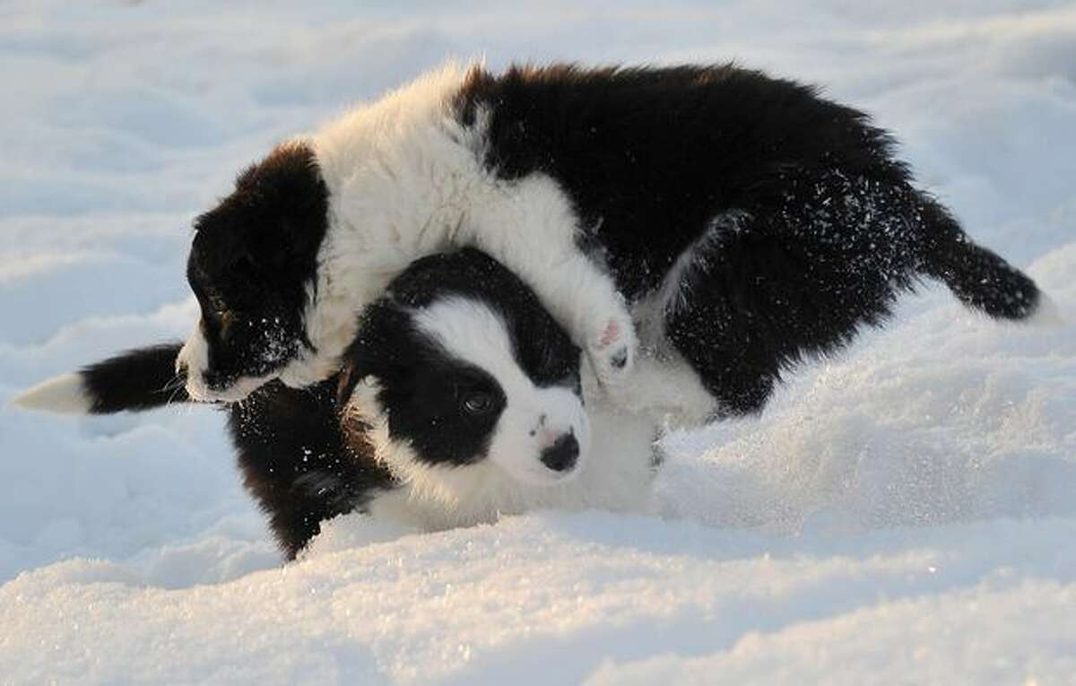 Seven-week old Border Collie puppies play in their garden as temperatures dropped below minus 10 degrees Celsius in the village of Bodice, Slovakia on December 16, 2010.