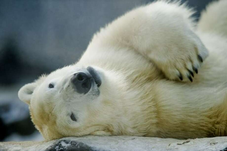 A polar bear plays on Tuesday at Prague Zoo in the Czech capital. Photo: Getty Images / Getty Images