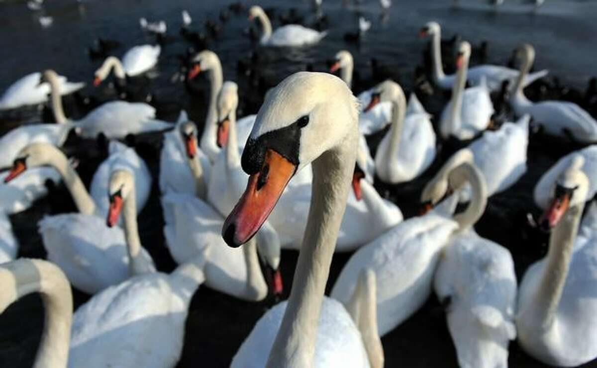 Swans are pictured in the lake Drazdiak in Bratislava on December 29, 2010.