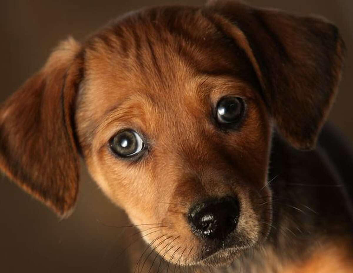 A seven-week-old Daschund cross puppy waits to be re-homed at the Cheshire Dogs Home in Warrington, England. The puppy is one of hundreds waiting for a new home at the Manchester and Cheshire Dogs Home and other animal shelters across Britain. There has been a huge surge in the number of abandoned pets over the winter.