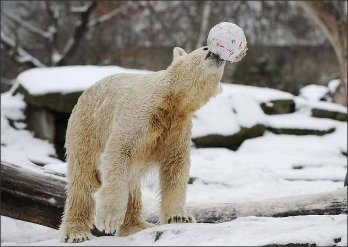 Polar bear Knut plays with an old ball in the snow at the Tiergarten Zoo in Berlin.