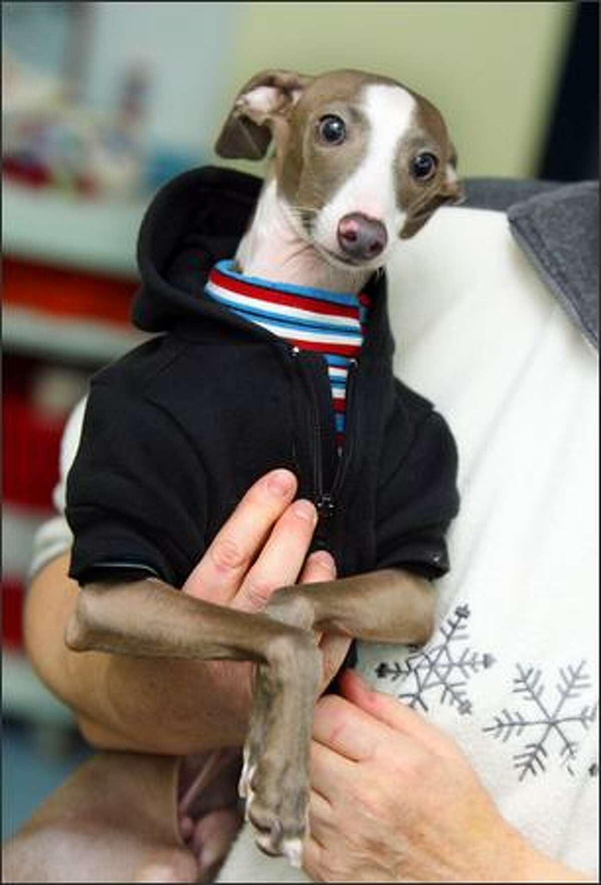 Walter, an Italian greyhound, must shed his street clothes before jumping into the pool at SpawZ Doggie Daycare and Fitness Cneter in Seattle.