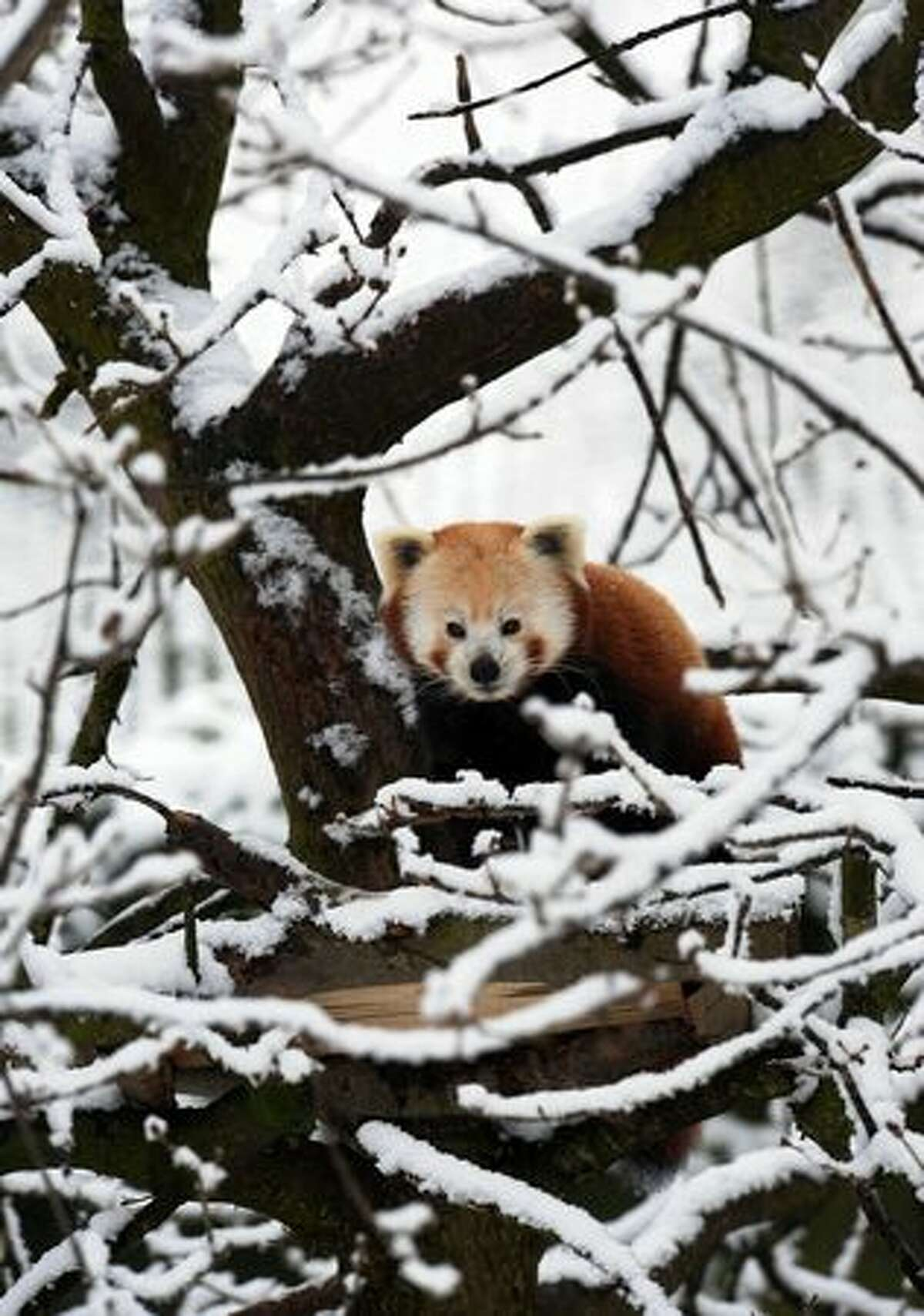 A Red Panda sits in a snow covered tree at Chester Zoo in Chester, England.
