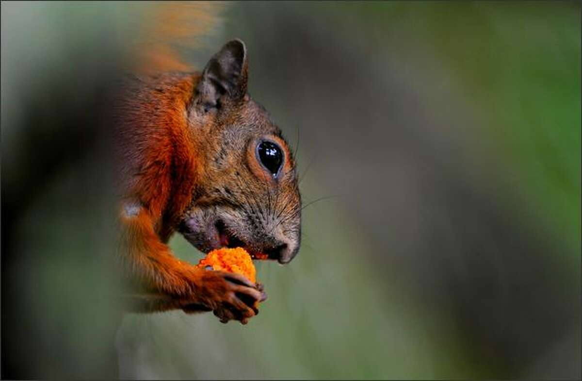An squirrel is pictured at the Santa Fe Zoo in Medellin, Antioquia department, Colombia.