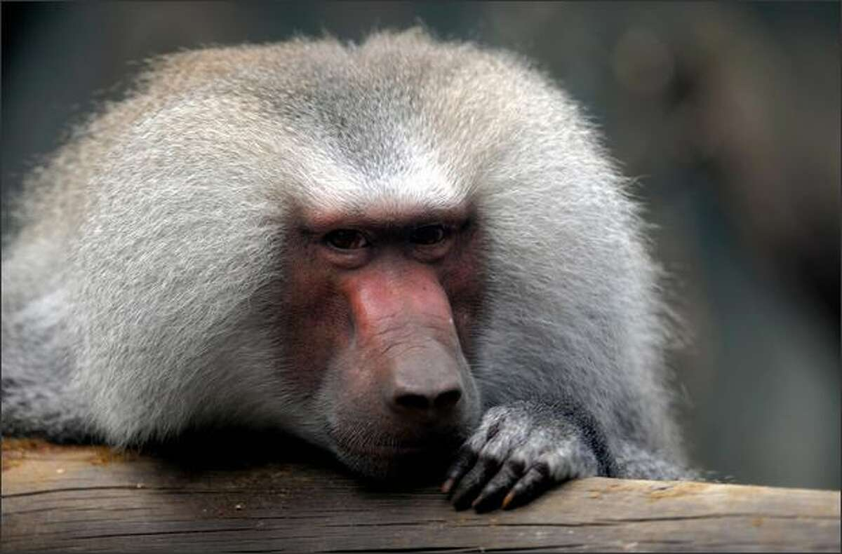 A hamadryas baboon monkey is pictured at the Santa Fe Zoo in Medellin, Antioquia department, Colombia.