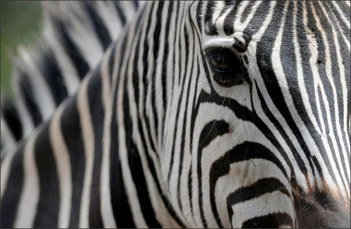 A zebra is pictured at the Santa Fe Zoo in Medellin, Antioquia department, Colombia.