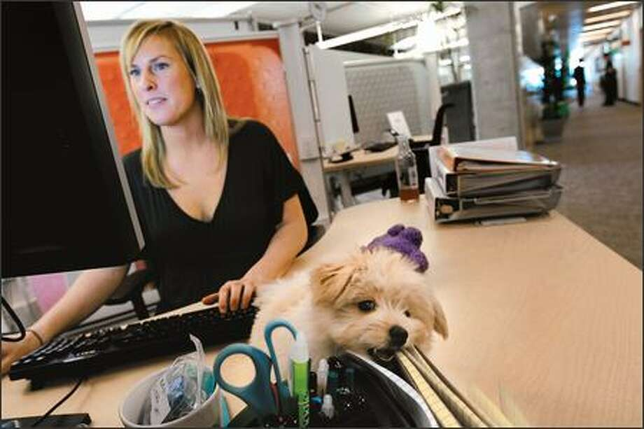 As Avery Greene works Tuesday, Brody, a Pomapoo puppy, gnaws on her notebooks at Google's new Fremont office, where dogs are welcome. Photo: Andy Rogers, Seattle Post-Intelligencer / Seattle Post-Intelligencer