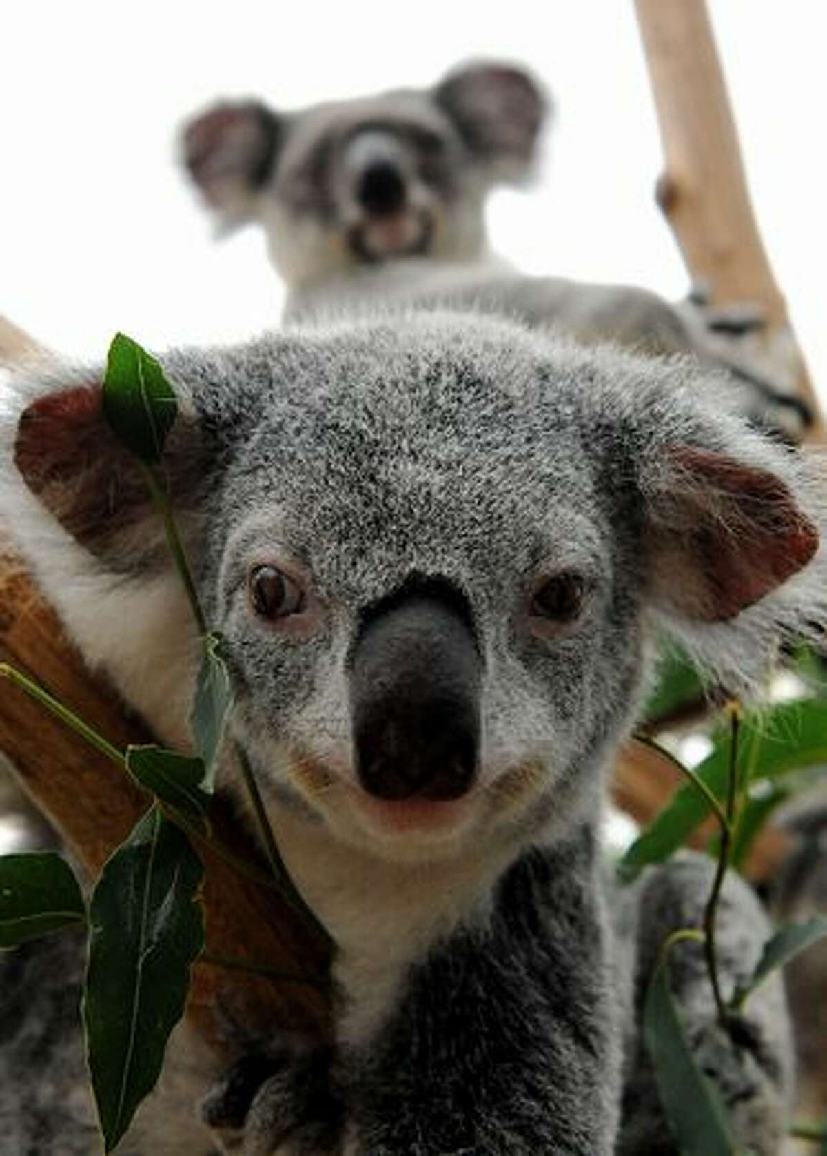 Two of 72 koalas displaced by the flood waters recover in an emergency shelter at the Lone Pine Koala Sanctuary in Brisbane. As the flood waters drained from the cities and towns, revealing the full horror of the devastation wrought when the Brisbane River burst its banks, wildlife parks and animal sancturies are racing to save native animals which have been displaced or made ill by the fetid water. (Photo by TORSTEN BLACKWOOD/AFP/Getty Images)
