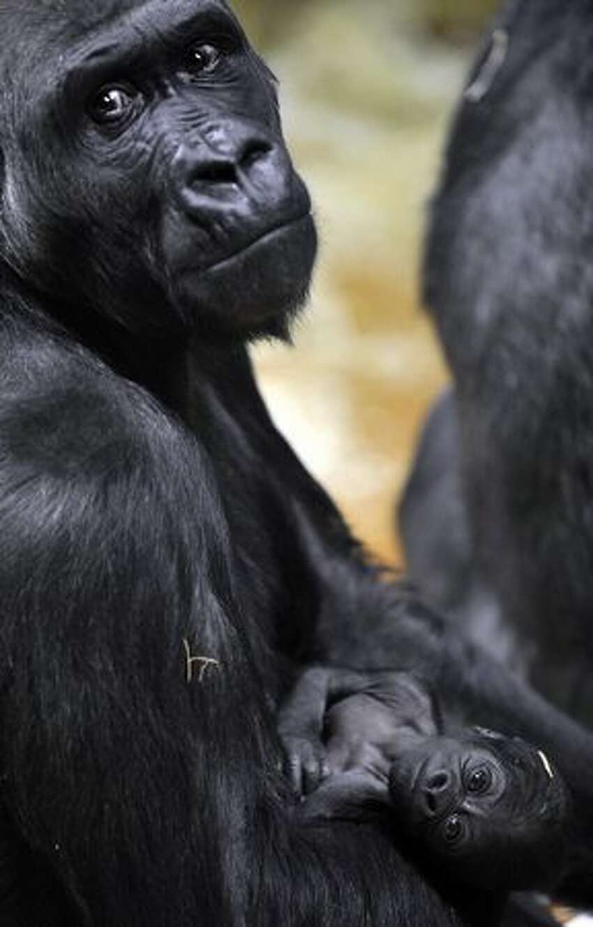 A baby gorilla hangs on its mother N'Yaounda in the Budapest Zoo.
