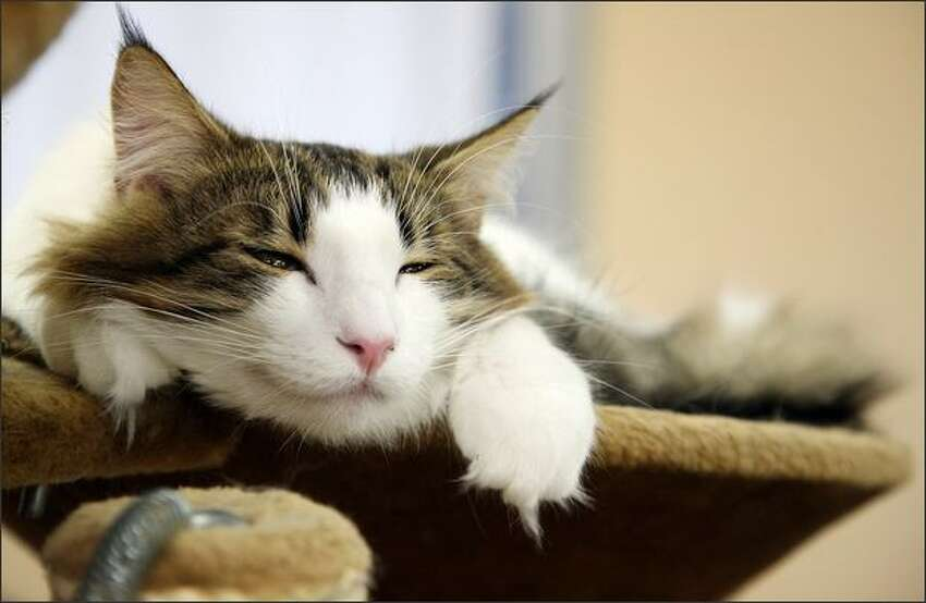 A cat lies at Nekorobi cat cafe in Tokyo, Japan. Cat cafes, where people can spend time with their favorite cat for about 10 U.S. dollars an hour, are now getting more popular with people living in urban areas.