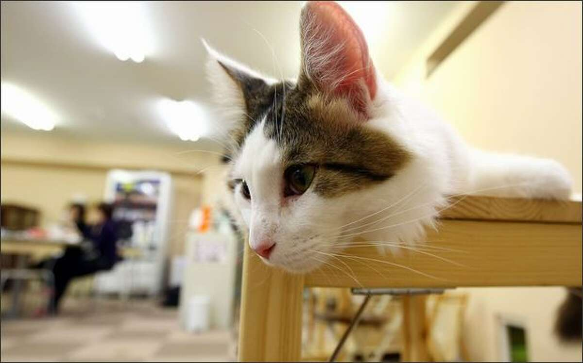 A cat lies at Nekorobi cat cafe in Tokyo, Japan. Some visiters come to the cat cafe three times a week.