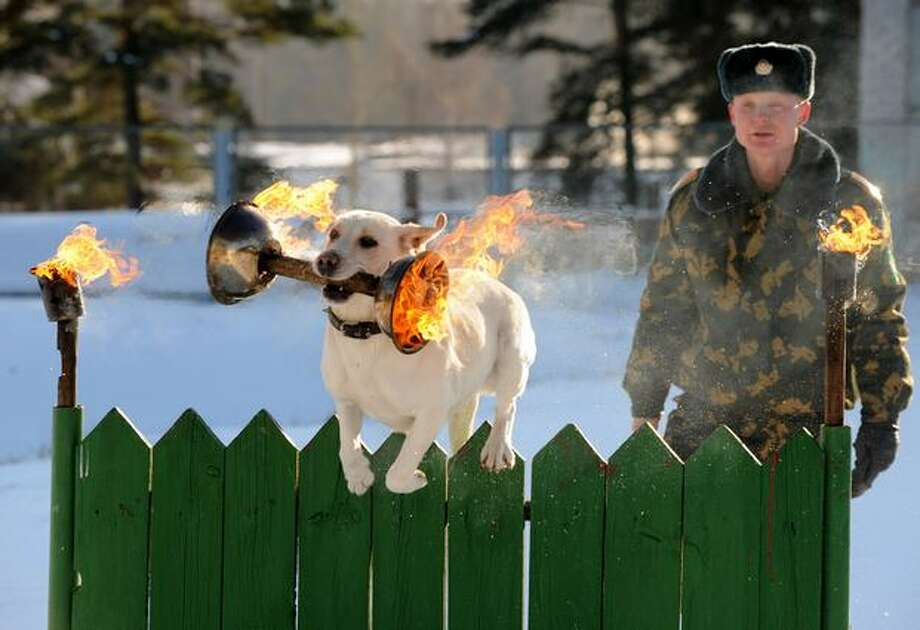 A Belarussian border guard's dog jumps over a fence with a flaming torch in its mouth at a military dog-training facility in the town of Smorgon, about 80 miles northwest of Minsk, on January 22. Photo: Getty Images / Getty Images