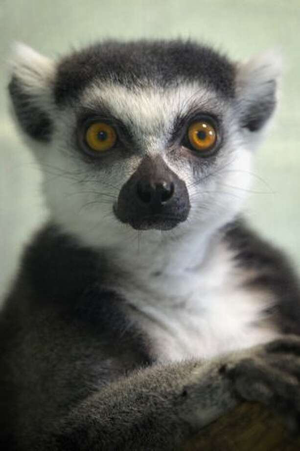 LONDON, ENGLAND - A Ring Tailed Lemur is pictured at Heathrow Airport's Animal Reception Centre on Tuesday in London, England. Many animals pass through the centre's doors ranging from exotic animals such as snow leopards and elephants, snakes and crocodiles, to the more common such as cats and dogs. In 2010 alone the centre processed approximately 10,500 cats and dogs, 1,300 birds, 105,000 day old chicks, 246,000 reptiles, 230 horses and 29 million fish. Most animals are part of zoo transfer schemes, the pet trade, or are pets in transit. Photo: Getty Images / Getty Images