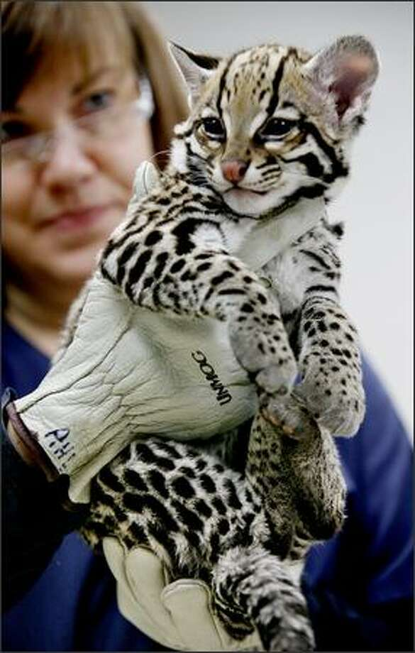 Corisandra, an 18-week-old Ocelot, wakes up from anesthesia in the hands of Linda Moneymaker, a veterinary technician at the Woodland Park Zoo in Seattle on Wednesday. Corisandra and her sibling Novia received physical examinations in the zoo's clinic. They were born at the zoo and will be introduced to the exhibition area in the next two weeks. Photo: Paul Joseph Brown, Seattle Post-Intelligencer / Seattle Post-Intelligencer