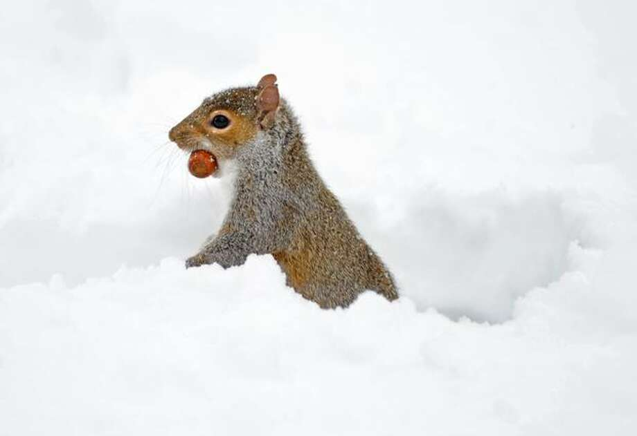 A squirrel holding a nut in its mouth pokes its head out of a burrow in the snow Friday in New York's Central Park. Photo: Getty Images / Getty Images