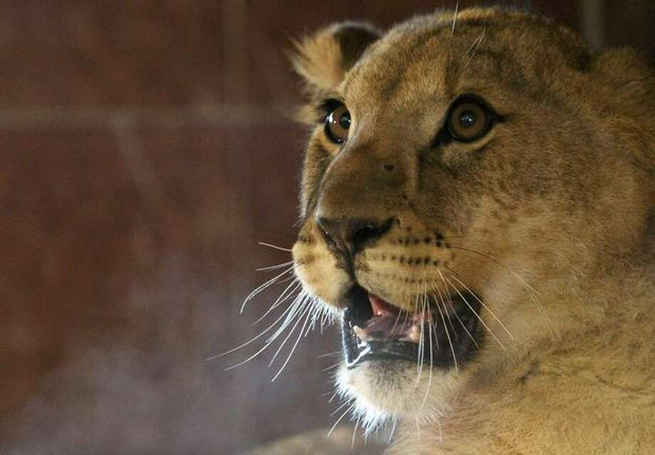 The female of the three Lion cubs, watches from her new enclosure at Noah's Ark Zoo Farm on January 19 in Bristol, England. The eight-month-old new arrivals, two males and a female originally from Linton Zoo in Cambridge, will hopefully be part of a on-going conservation project between the Uganda Wildlife Project and zoos in the UK. Photo: Getty Images / Getty Images