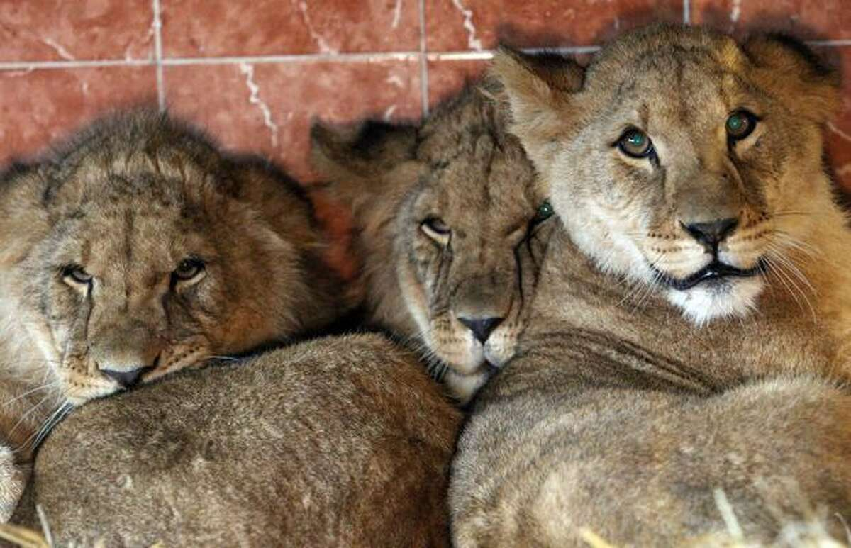 Three Lion cubs, two brothers and a sister (R) watch from their new enclosure at Noah's Ark Zoo Farm on January 19 in Bristol, England. The eight-month-old new arrivals, two males and a female originally from Linton Zoo in Cambridge, will hopefully be part of a on-going conservation project between the Uganda Wildlife Project and zoos in the UK.