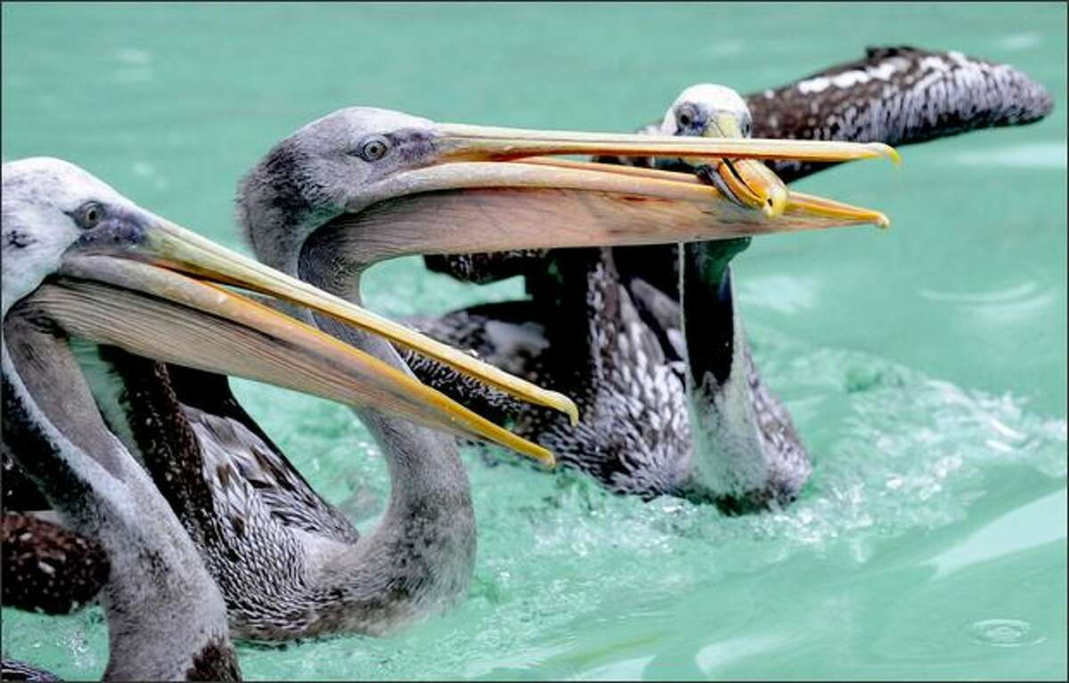 """Pelicans swim in their pool at the zoo in Hanover, central Germany. The pelicans actually live at the former walrus basin and are scheduled to move to the new """"Yukon Bay"""" Canada-landscape in the year 2010."""