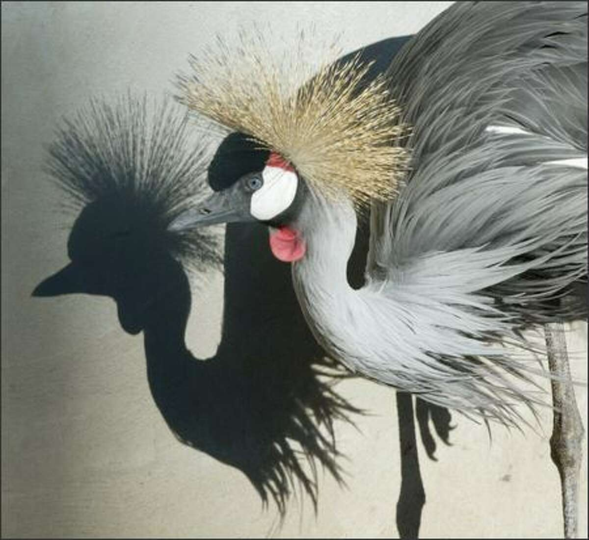 Crowned cranes use mixed wetland-grassland habitats for nesting and foraging.