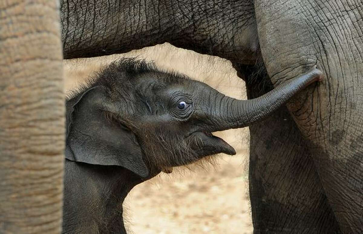 Melbourne Zoo's new Asian elephant - named Baby for the time being - walks between her mother's leg after going on display to the public for the first time on Wednesday Feb. 10.